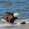 Bald Eagle with catch on the Mississippi River, Illinois, USA