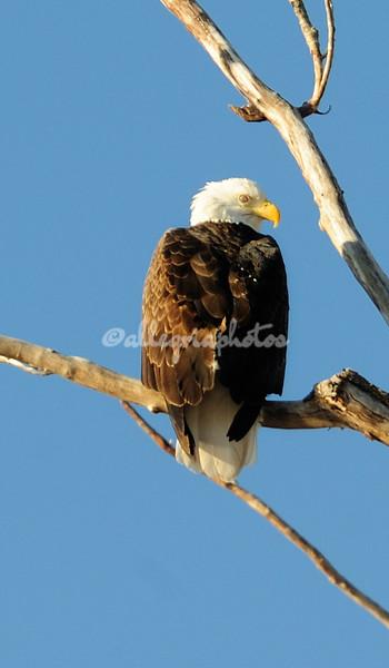 Bald Eagle on the Mississippi River