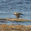 Bald Eagle on the Mississippi River, Illinois, USA
