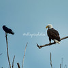 Crow and Bald Eagle