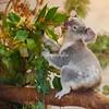 A hungry koala