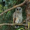 Barred Owl (juvenile), Missouri Botanical Garden, St Louis, Missouri, USA