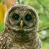 Barred Owl, St. Louis Botanical Garden