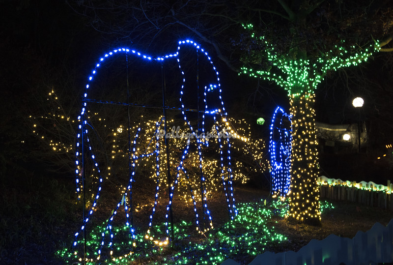 "Elephants,  ""Wild Lights"", St Louis Zoo"