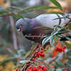 Pigeon and berries