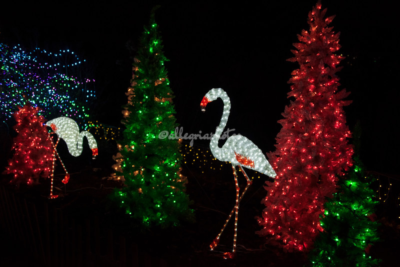 Flamingos, Wild Lights, St Louis Zoo
