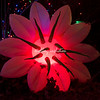 Christmas flower, Wild Lights, St Louis Zoo