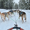 Dogsledding, West Yellowstone