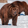 """""""Grizzly Bears"""", Grizzly and Wolf Discovery Centre, West Yellowstone, Montana"""