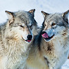 """""""Grey Wolves"""", Grizzly and Wolf Discovery Centre, West Yellowstone, Montana"""