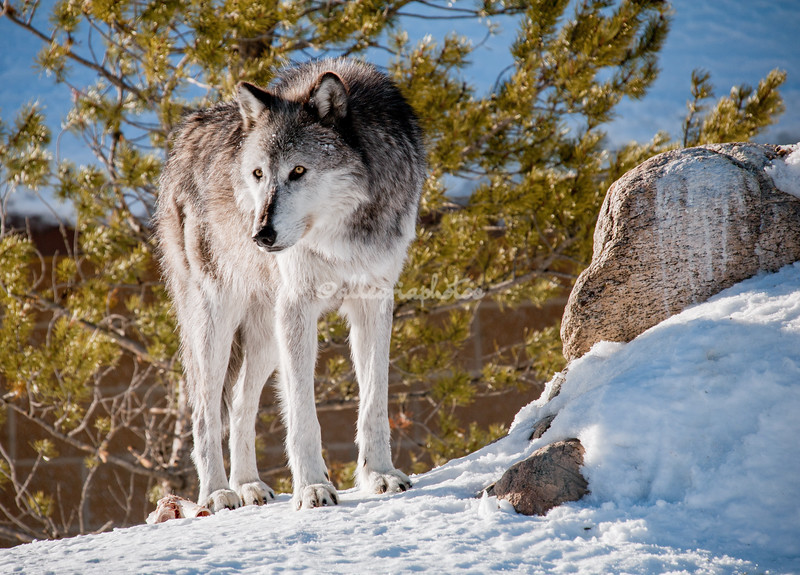 """""""Grey Wolf"""", Grizzly and Wolf Discovery Centre, West Yellowstone, Montana"""