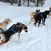 Dog sledding West Yellowstone