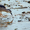 Night heron and worm
