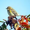 Finch on sumac