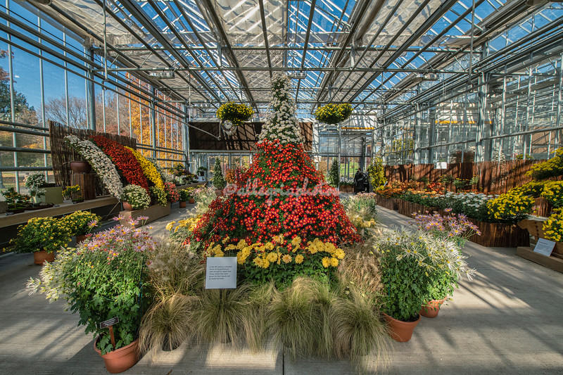 Chrysanthemum display and exhibition, New York Botanical Garden, New York City
