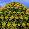 """Chrysathemum Mountain"""