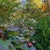 Autumn roses, Riverside park, New York City