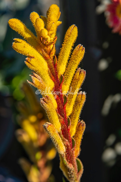 Kangaroo Paw, New York Botanical Garden, New York City