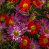Chrysanthemums, New York Botanical Garden, New York City