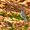 Blue Jay with an Acorn, New York Botanical Garden, New York City
