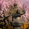 Cherry trees, Japanese garden, Brooklyn Botanical Gardens March 2012