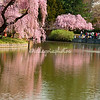 Japanese garden and cherry trees, Brooklyn Botanical Gardens March 2012