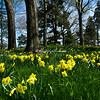 A hill of daffodils, Brooklyn Botanical Garden