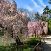 Cherry trees, Brooklyn Botanical Garden, New York
