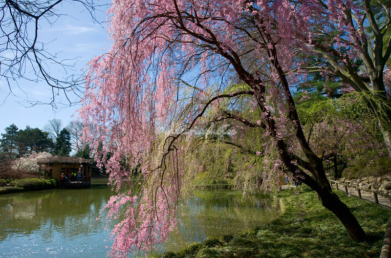 Weeping Japanese cherry tree, New York