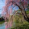 Weeping Japanese cherry tree, New York