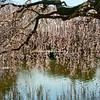 Cherry trees in bloom, Brooklyn Botanical Gardens March 2012