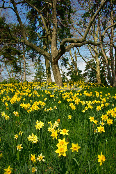 Daffodil Hill, Brooklyn Botanical Gardens March 2012