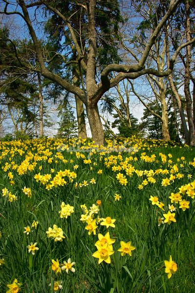 Daffodil Hill, Brooklyn Botanical Gardens March 2012