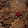 Pine cones decorated for Christmas