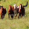 The four cavallos