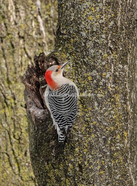 Red Bellied Woodpecker, Riverside Park, New York Cit