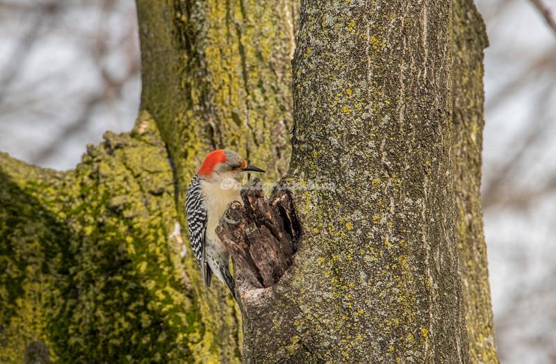 Red Bellied Woodpecker, Riverside Park, New York City