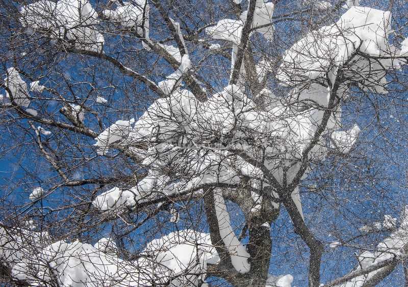 Snow on tree branches, NYC