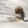 A Squirrel in the snow, Central Park