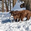 Brown Labradors, Riverside Park, Upper West Side, Manhattan, New York City