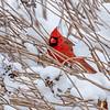 Red Cardinal, Riverside Park, Upper West Side, Manhattan, New York City