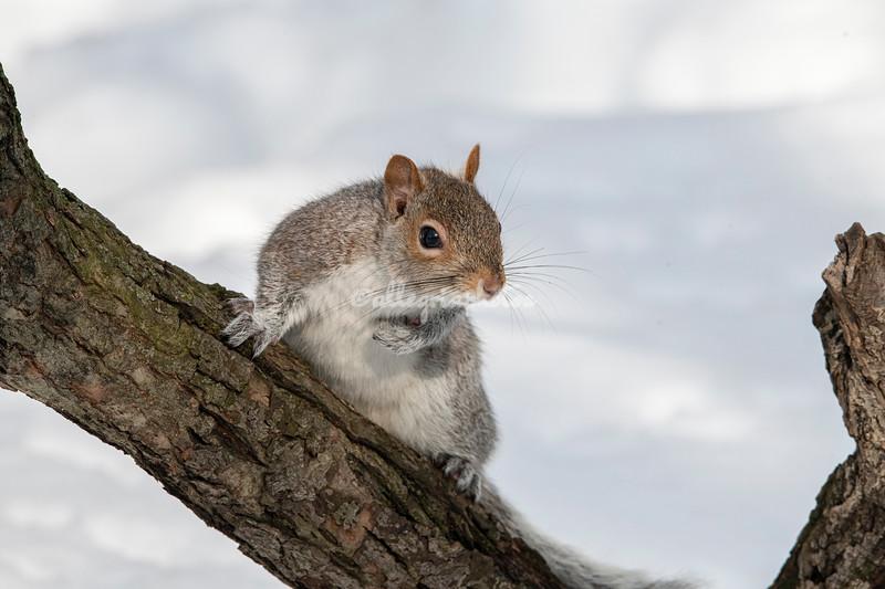 Tree Squirrel, Riverside Park, Upper West Side, Manhattan, New York City