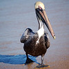 Strutting Brown Pelican