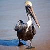 Strutting Brown Pelican