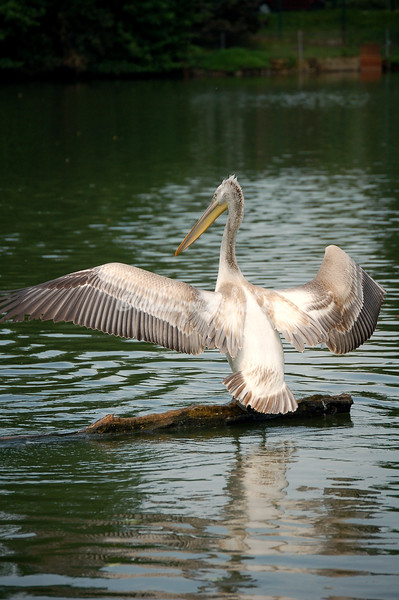 Pelican drying its wings