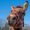 A friendly mule in Benton County, Tennessee.