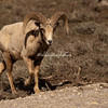 Big horn sheep, Jackson Hole, Wyoming