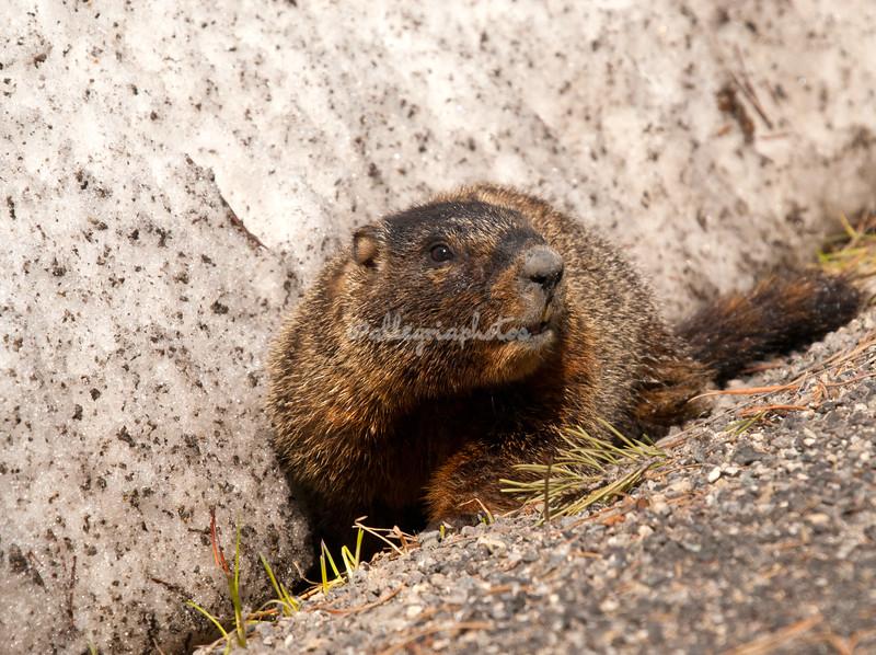A marmot outside the National Museum of Wildlife Art, Jackson Hole, Wyoming