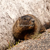 A marmot outside the National Museum of Wildlife Art, Jackson Hole, Wyoming