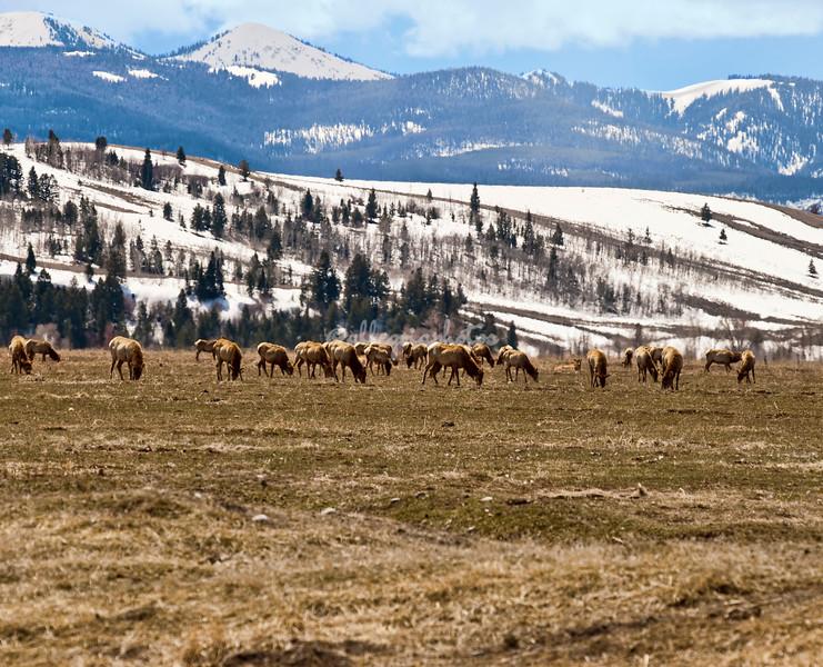Herd of elk grazing in Grand Teton National Park, Wyoming